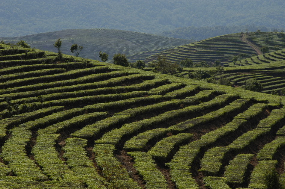 Xishuangbanna Nannuo Mountain Tea Plantation